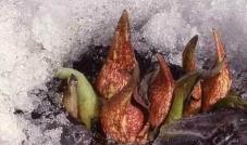 نباتات تقوم بإذابة الثلج